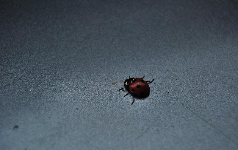 ladybug in Bruxelles di anelecapitanio