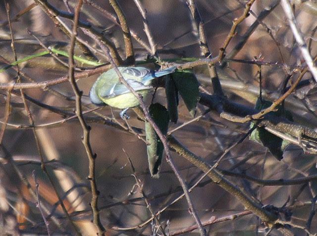 DSC_5457 Blue Tit in woodland