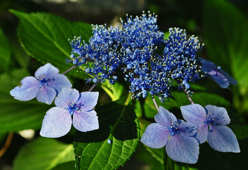 Hydrangea macrophylla 'Bluebird' (2)