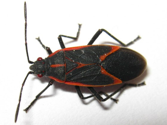Suggestions On How To Get Rid Of Boxelder Bugs Gladiator Pest Control