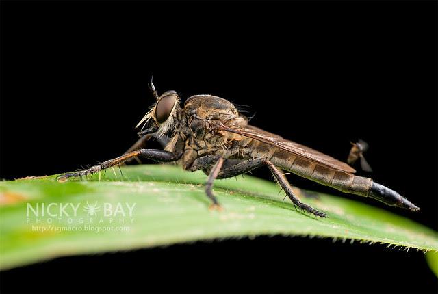 Robberfly (Asilidae) - DSC_2183