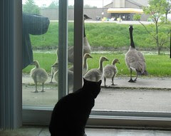 Dolly watch geese
