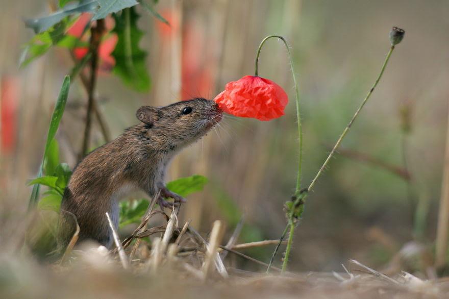 Rato do campo Flores de cheiro