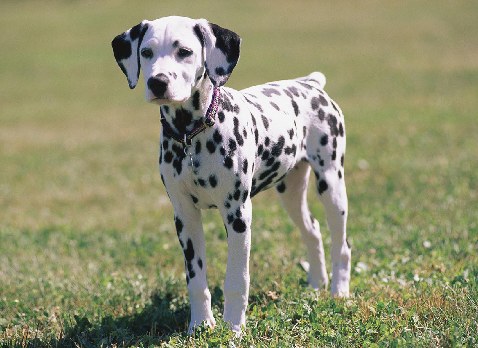 Dalmatian Funny Dogs