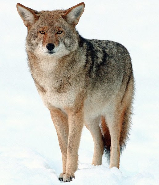 5 Signs a Coyote is Near on a Snowy Day