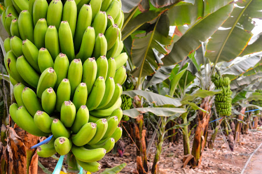 Cultivation and benefits of different cultivars of banana