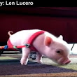 Video: Baby Piglet Chris P. Bacon Uses Wheelchair For Mobility