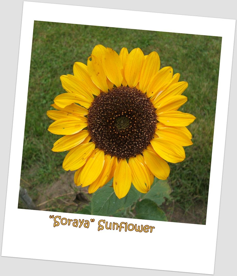Soraya Sunflower by Angie Ouellette-Tower for godsgrowinggarden.com photo 008_zps2a2059a4.jpg