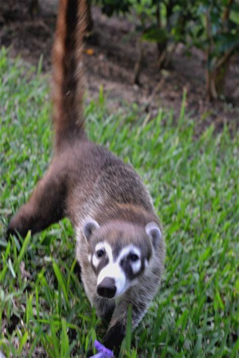Wildlife in Mexico: Did You Know Coatis Have 10 Names?   Sandos