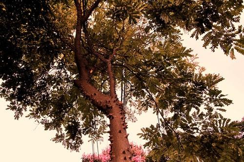 Pau-brasil (detalhe)