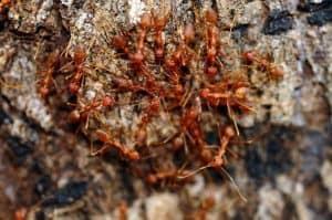 Rangrang kroto dikenal sebagai salah satu jenis serangga yang galak 11 Cara Ternak Rangrang Kroto