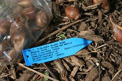 tulip bulb label