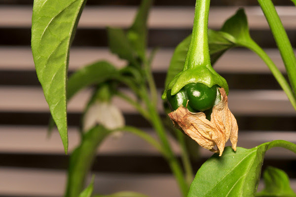 an indoor pepper in December!