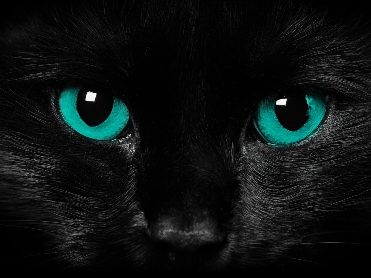 Black Cat Blue Eyes Wallpaper Wallpapers Gallery