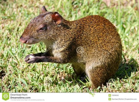 Mexican Agouti stock photo. Image of agouti, rodent, cute   13256550