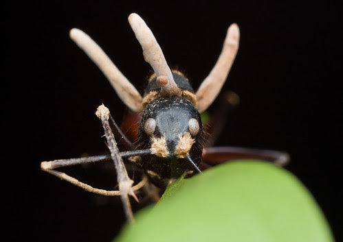 Camponotus gigas ant  being eaten by a zombie-ant Ophiocordyceps fungus...IMG_8046 copy