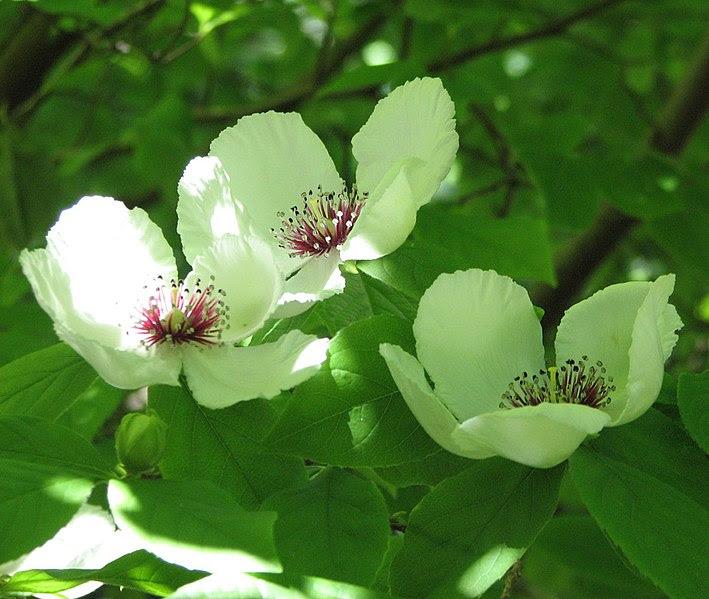 File:Stewartia malacodendron.jpg