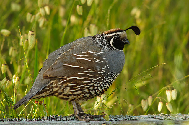 Quail and rattlesnake grass - Pat Ulrich Wildlife Photography