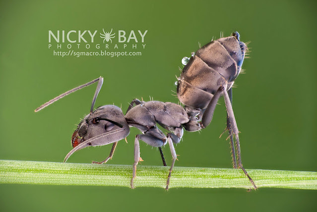 Ant (Formicidae) - DSC_4052
