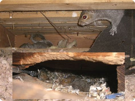 How To Get Rif of A Squirrel Family With Babies From Your Attic   Alphaanimalcontrol.ca