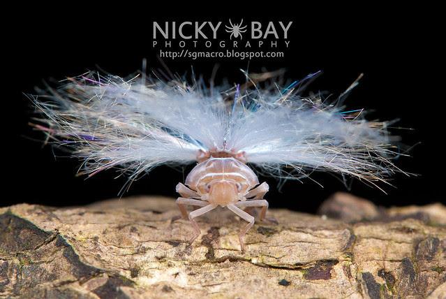 Planthopper nymph (Fulgoromorpha) - DSC_4026