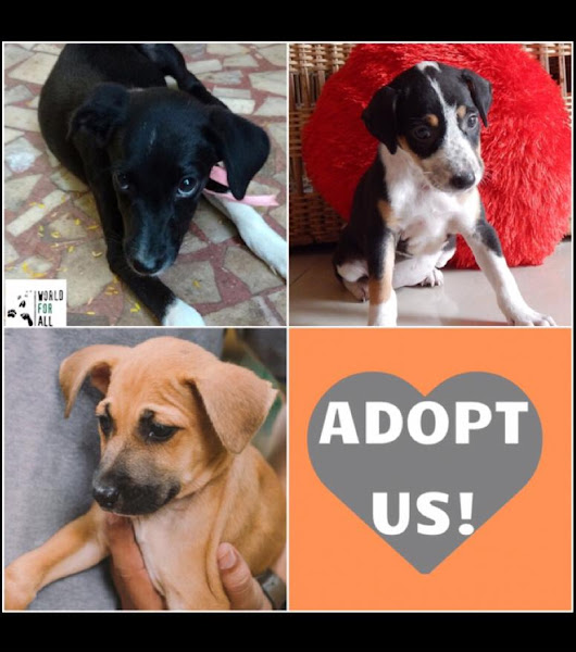 "WorldForAll on Twitter: ""Adorable and friendly Indie puppies up for #adoption in #mumbai call/msg 9004257179 for info """