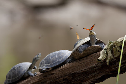 Just A Butterfly Drinking Some Turtle Tears | E...