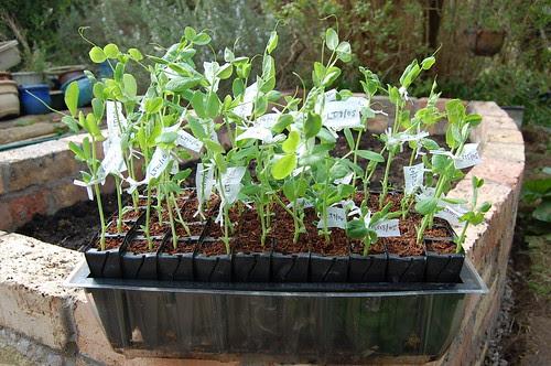 Luna Trick F4 seedlings