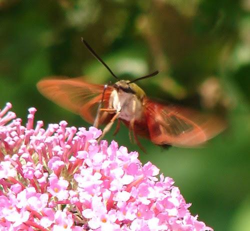 hummingbird moth (front)