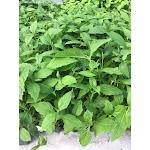Eutrochium purpureum 72 Plugs   Conservation Quality Plants by ArcheWild