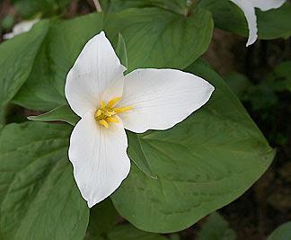 springflower