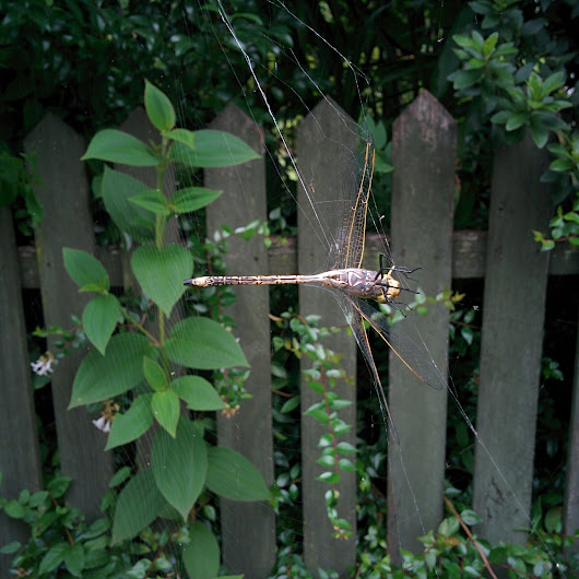 Trapped dragonfly