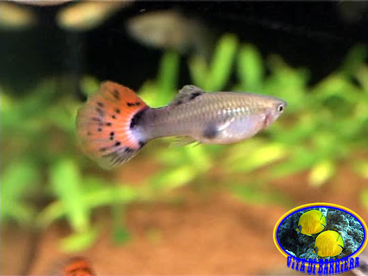 "Data Sheet: Poecilia Reticulata ""Guppy"""