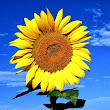 Give $1 to 'Sunflowers Against Climate Change' and I will match your donation