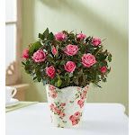 Flower Delivery by 1-800 Flowers Classic Budding Rose Small Plant
