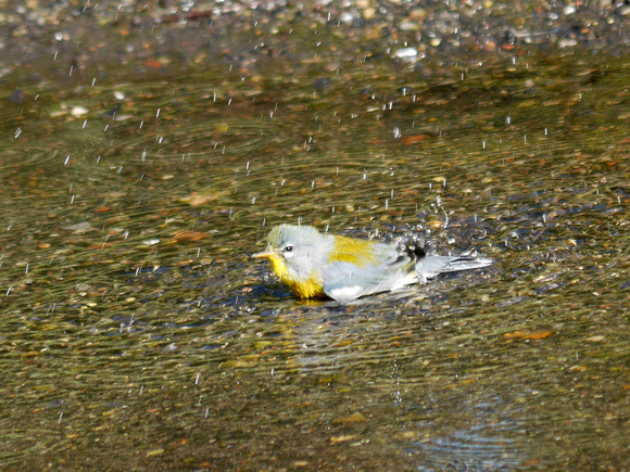 Ed Gaillard: birds &emdash; Northern Parula bathing, The Pond, Central Park