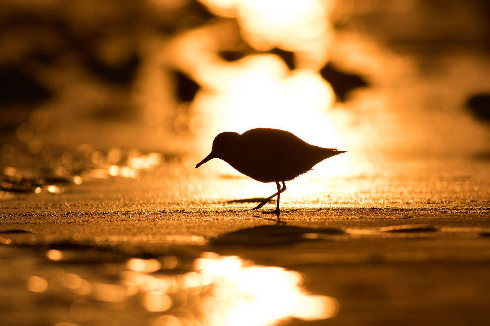 Перепончатопалый песочник