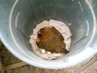 Game Hen Brooding in Garbage Can