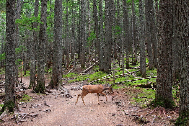 IMG_2410 Mule Deer, Avalanche Lake Trail