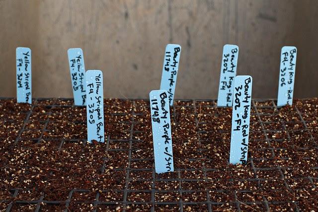 starting dwarf tomatoes