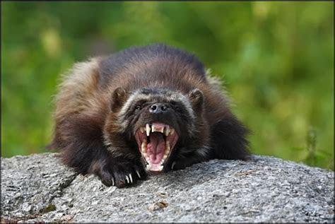 Wonderful animals: Wolverine