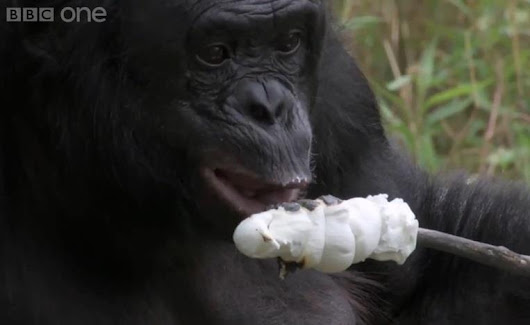Marshmallow-Toasting Bonobo Charms Internet After BBC Debut - NBC News