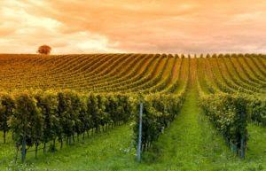 fertlización en viticultura