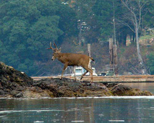 Deer Coming Out of the Water 3