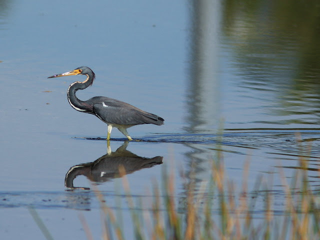 Tricolored Heron leaving wake 20140125