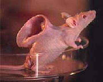 Public funds authorised for production of chimeras (human-animal hybrids)