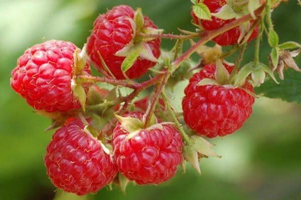 Малина, полезные свойства малины, польза малины, полезные свойства ягод малины, полезные свойства листьев малины, полезные свойства веток малины, чай из малины, отвар из малины, настой из малины, что лечит малина, когда собирать малину, когда спеет малина
