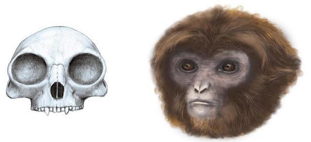 Reconstrucción de cráneo y de la apariencia de 'Pliobates cataloniae'.