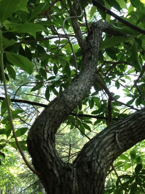 Laurel tree twisting like Daphne by Rachel Wintemberg