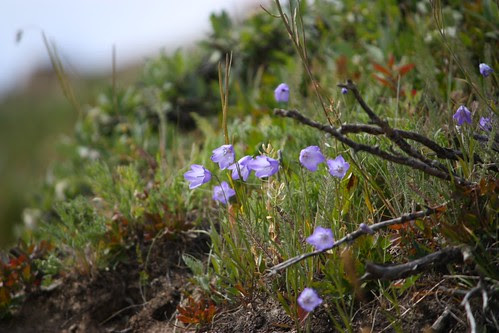 Alpine Hairbells